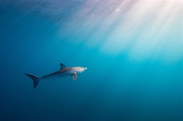 Fifteen Shark Species Now Defined as Critically Endangered